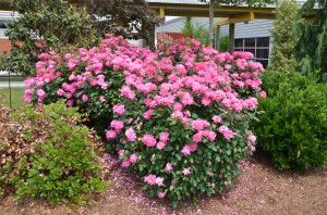 'Pink Double Knockout' roses at UT Gardens in Knoxville, TN