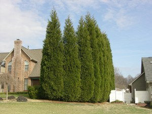 Leyland Cypress Privacy Screen