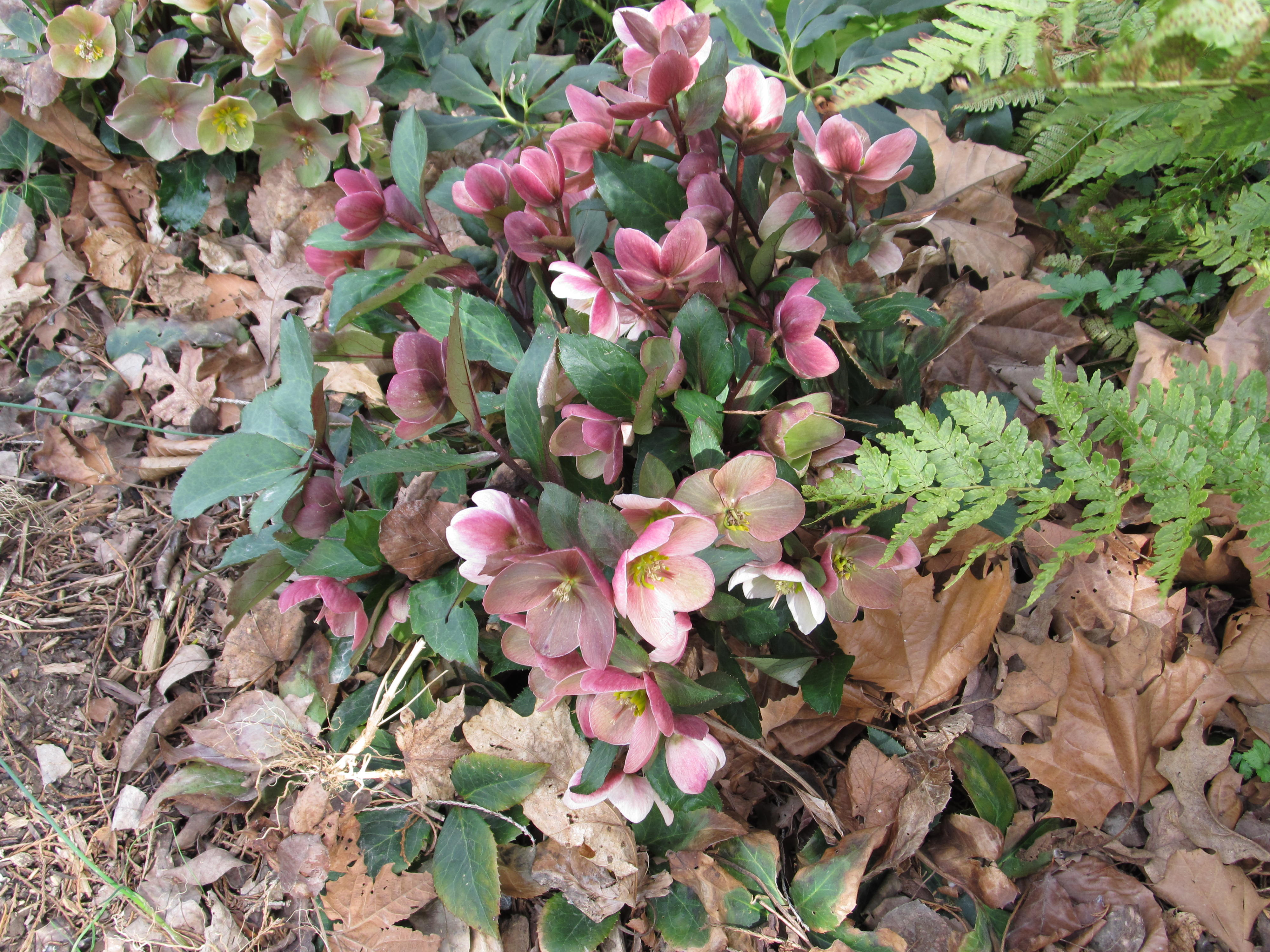 new christmas roses hellebores greatly improved what grows there hugh conlon. Black Bedroom Furniture Sets. Home Design Ideas