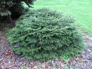 Picea abies 'Nidiformis'  at Boone County Arboretum