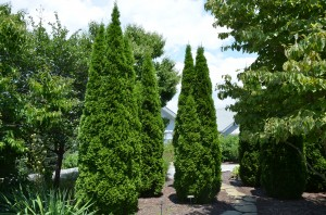 Emerald™ Arborvitae at NC Arboretum in Asheville, NC