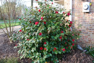 'April Tryst' Camellia