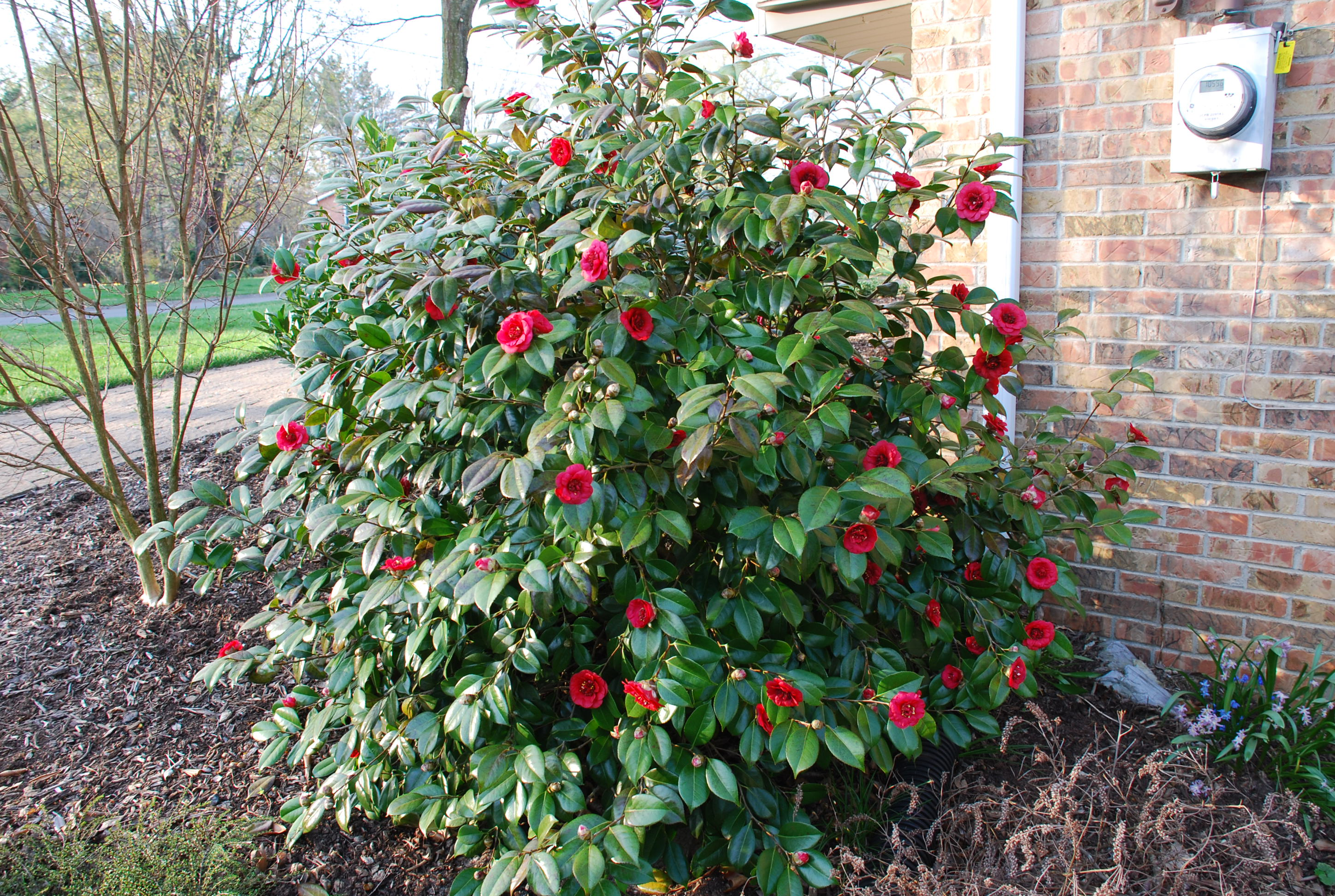 Winter flowering plants zone 6 images for Hardy flowering trees