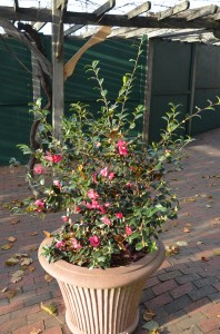 Camellia x 'Sparkling Burgundy' Catches One's Attention at Biltmore Estates in Asheville, NC