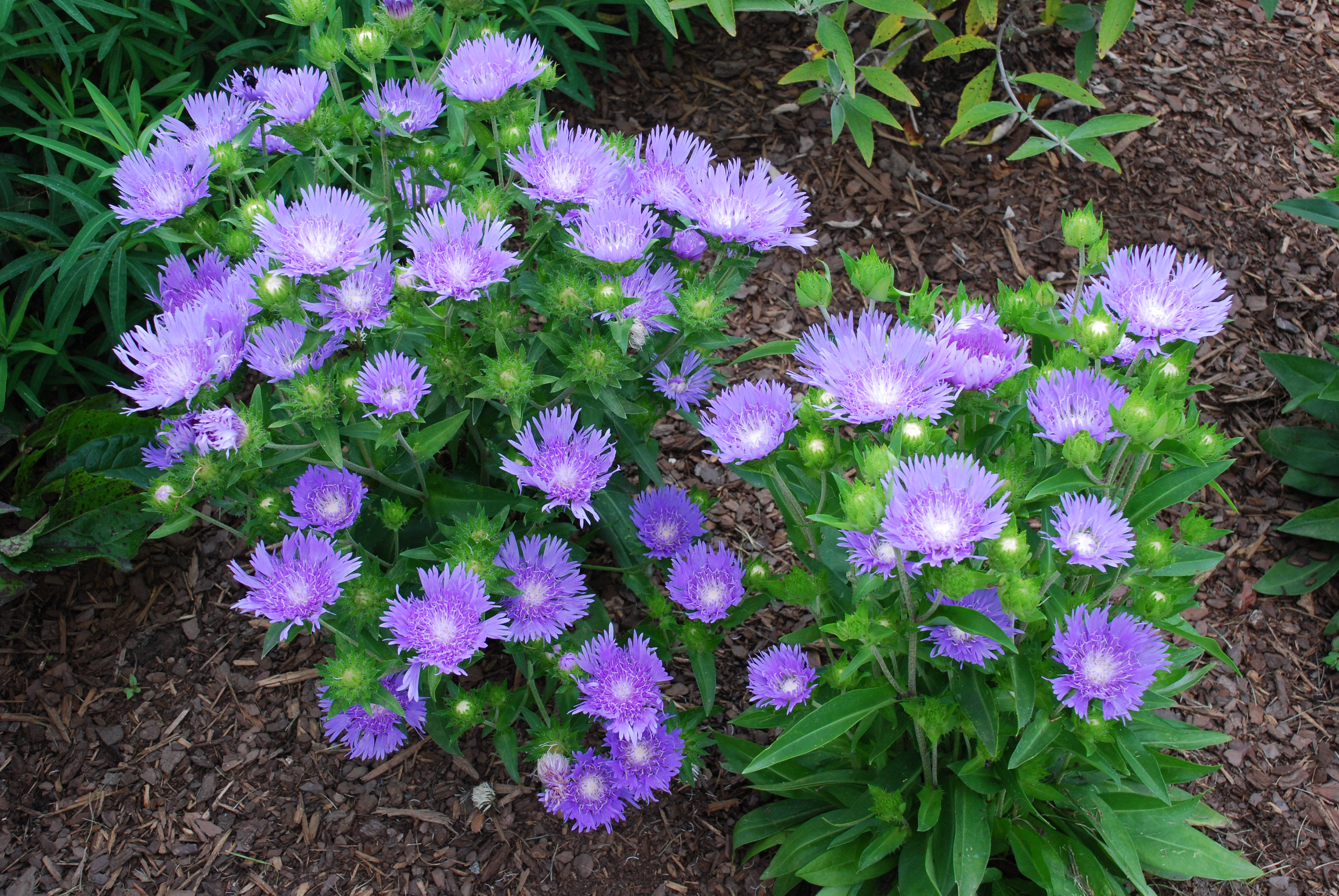 Lots Of Stokes Asters To Pick What Grows There Hugh Conlon