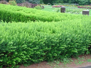 Trimmed yew hedge
