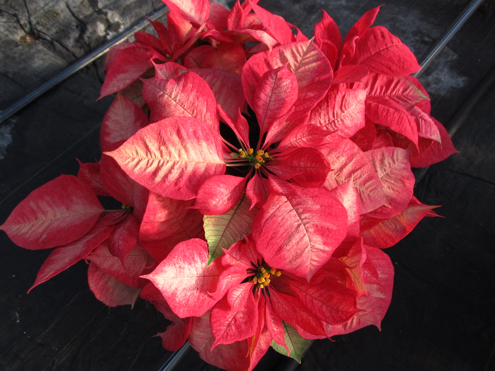 Holiday Poinsettia Requires Basic Care What Grows There Hugh