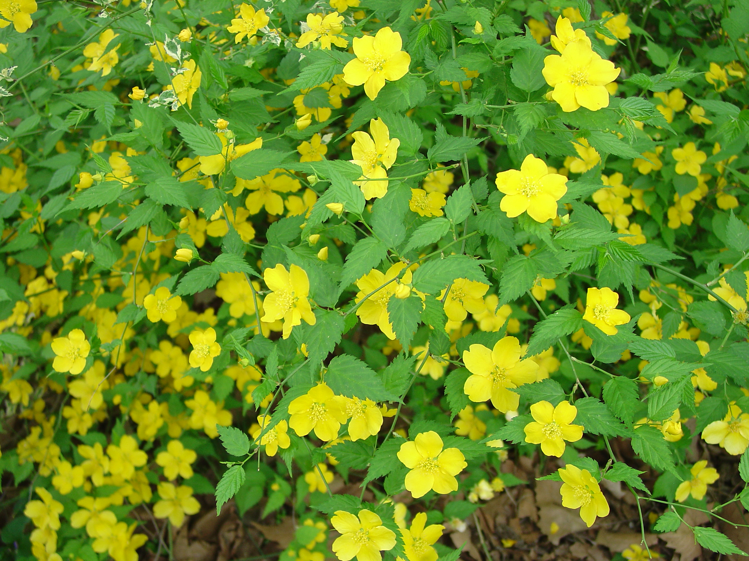 Japanese kerria beautiful old fashioned shrub what grows for Kerria japonica