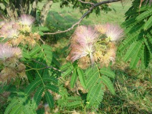 Albizia julibrissin is hummingbird magnet, potentially invasive in some areas