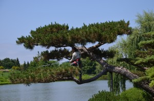 Arborist Pruning Pine at Chicago Botanical Gardens