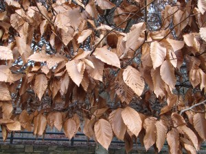Leaf retention of American Beech