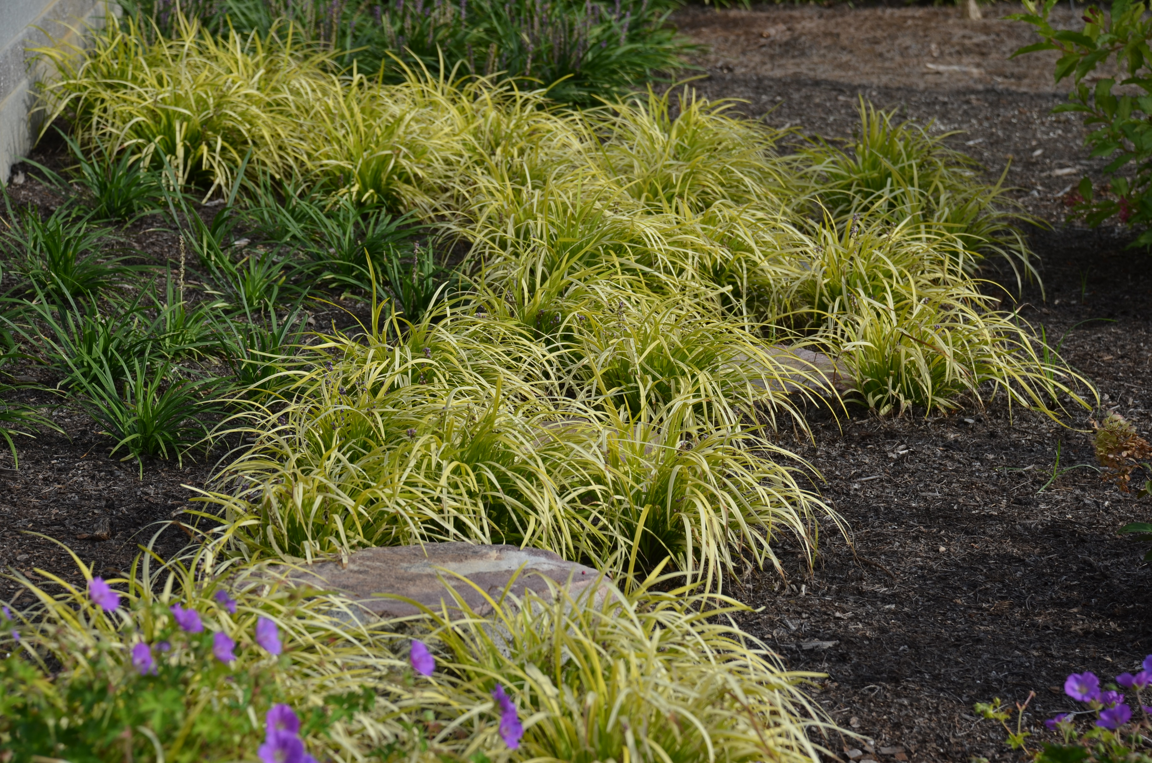 Peedee Ingot Liriope Brightens Dark Areas What Grows There