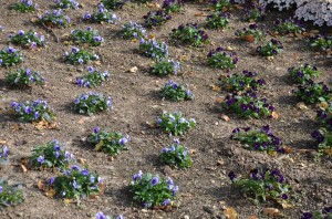 New pansy planting in fall