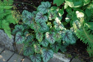 Heuchera 'Apple Spice'