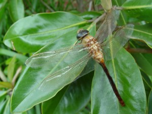 Dragonfly (Photo by Dr. Frank Hale, UT Entomologist, Nashville)