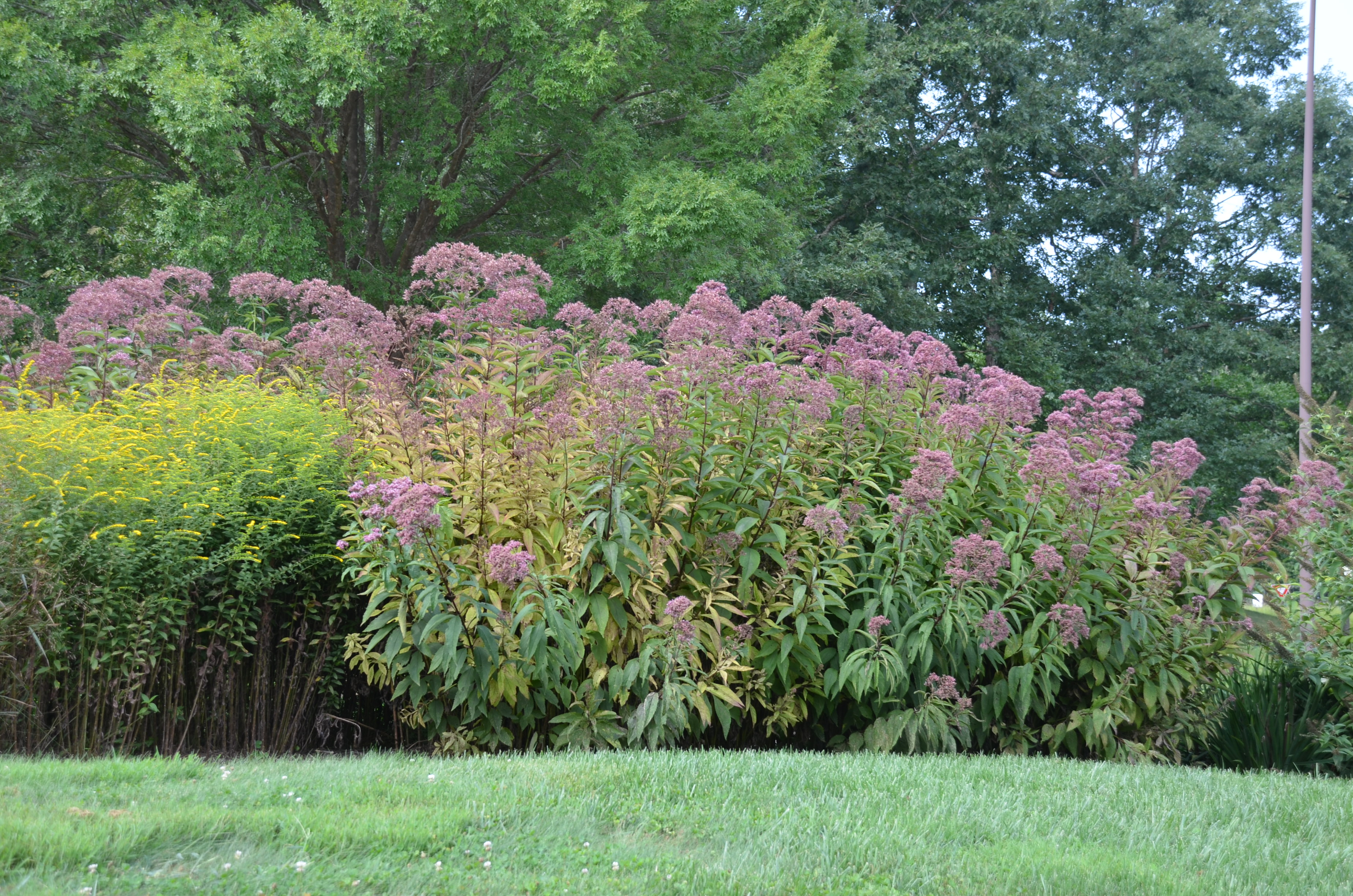 Joe Pye Weed Is No Longer A Weed What Grows There Hugh