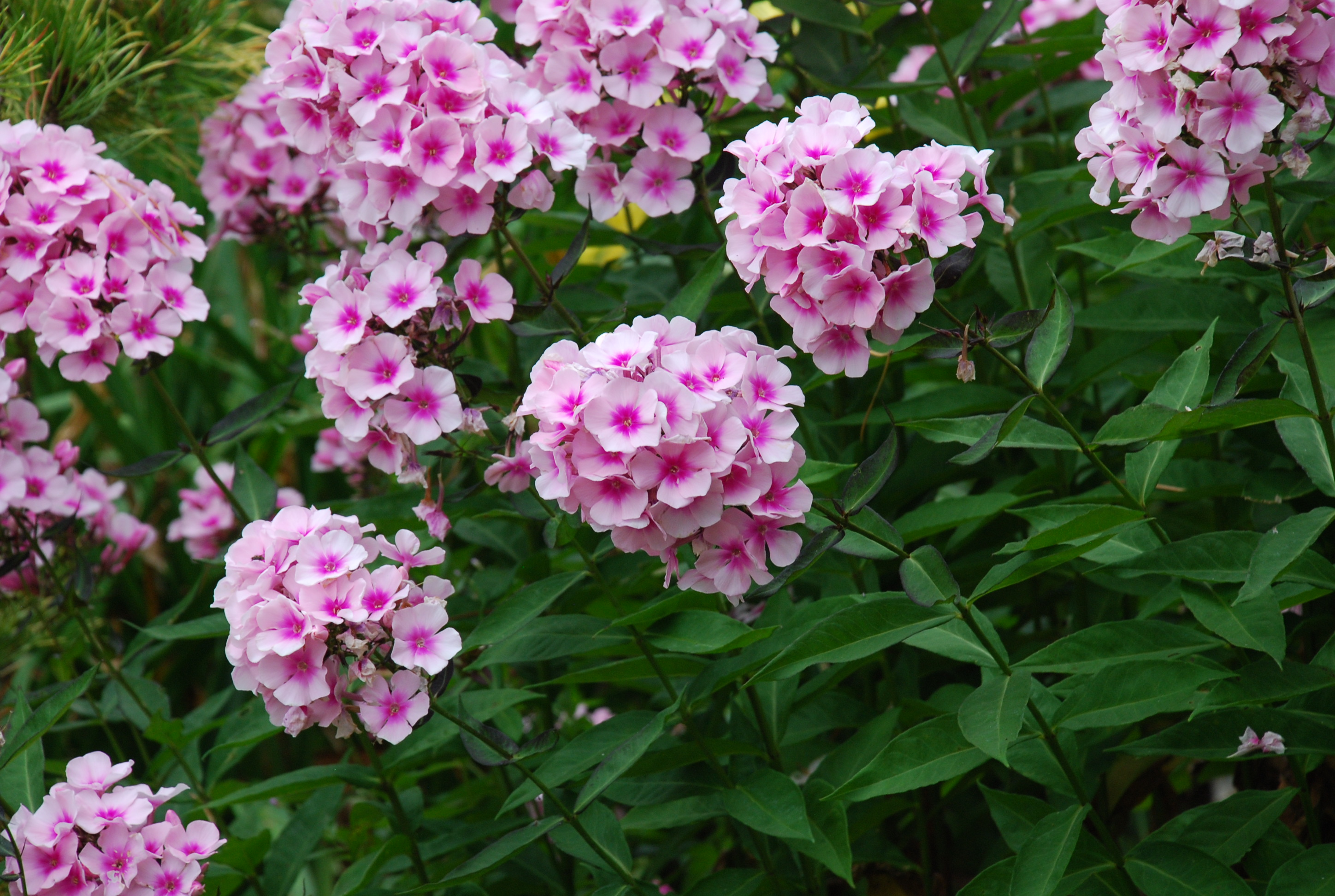 through weather blooms flora sabbath smiles the in things right hues of some tall a degree happy sept middle many garden enjoy phlox