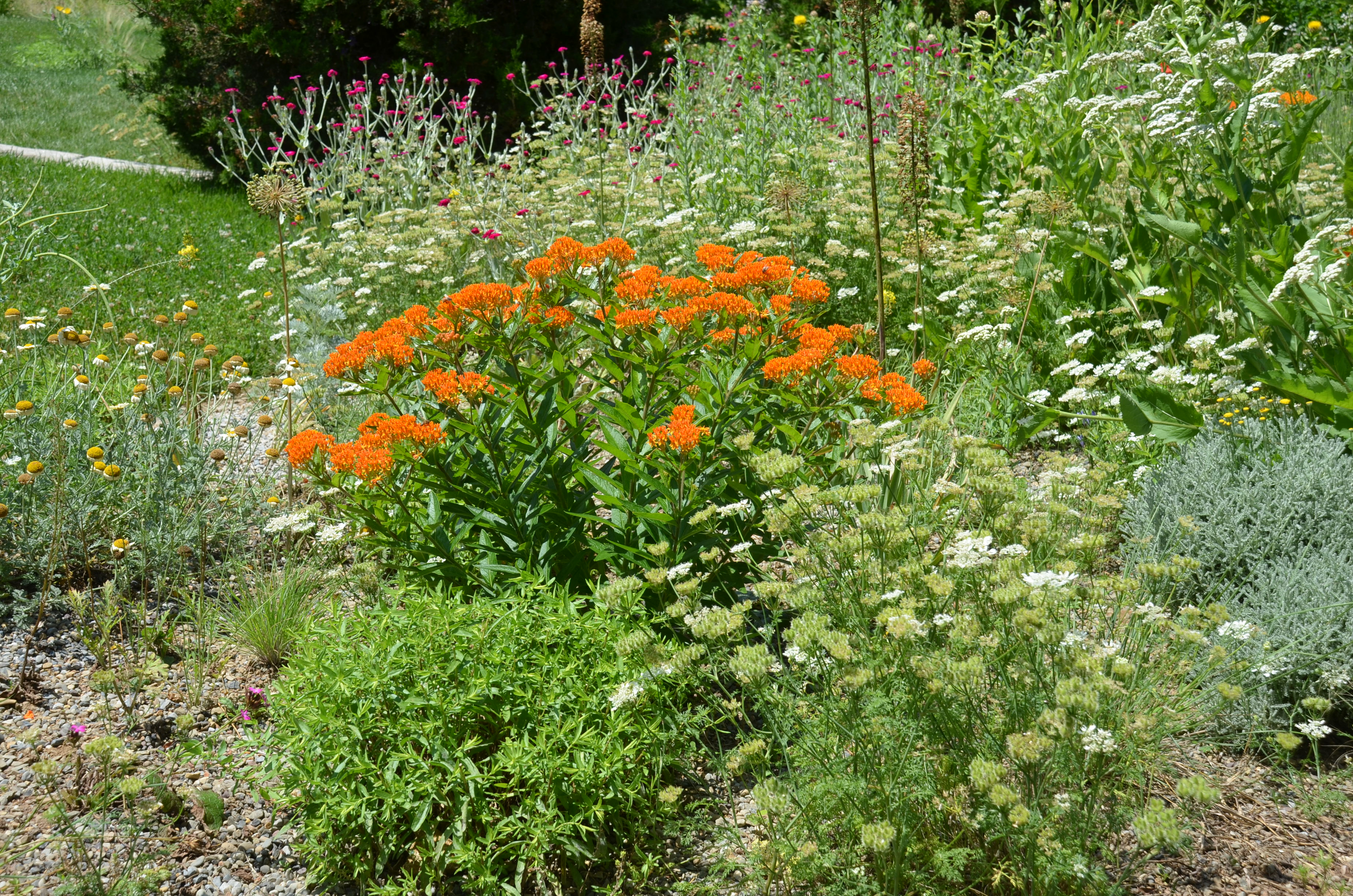 Butterfly Weed Long Lived Flowering Perennial That Nourish
