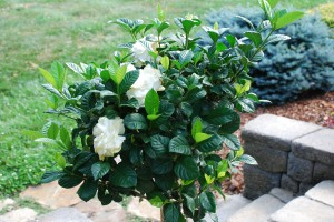 Non-hardy Gardenia in Tree form