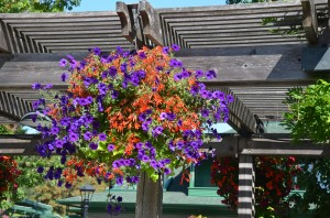 Container Floral Mix with 'Bonfire' Begonia and Petunias