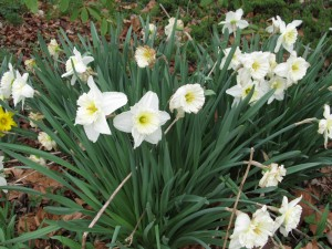 Dependable Daffodils