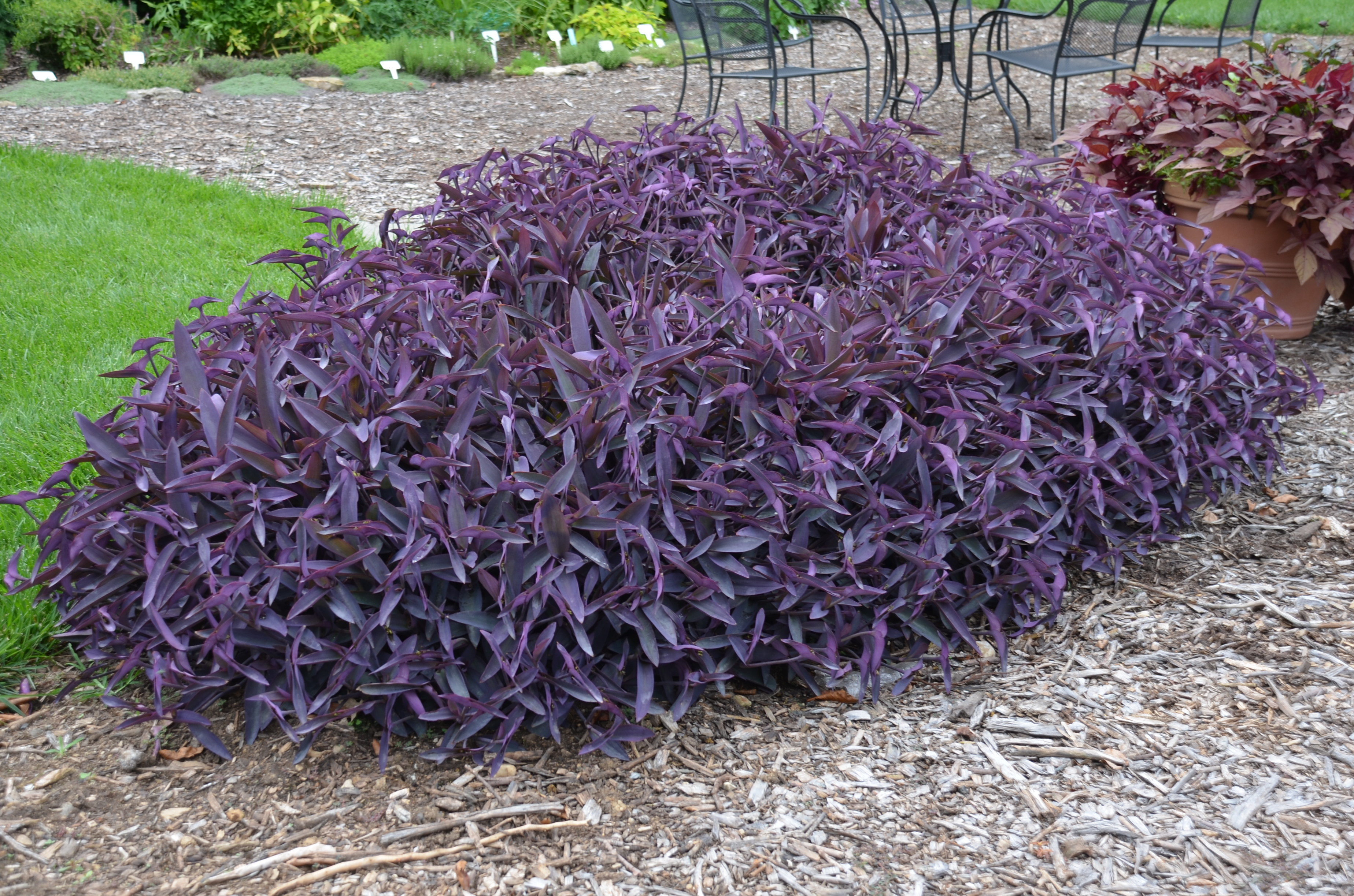 Hanging beds over water - Purple Heart Tradescantia What Grows There Hugh