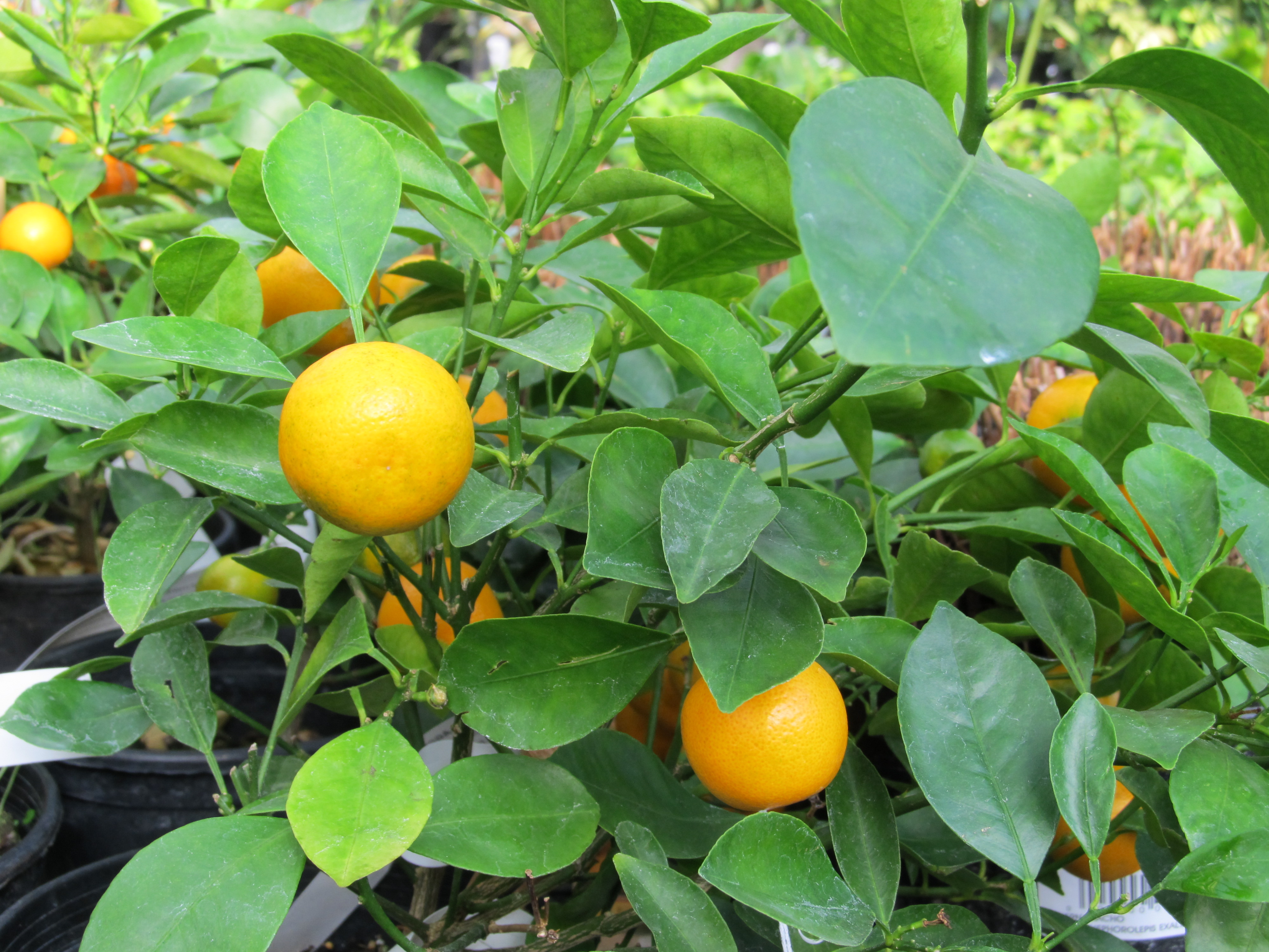 growing calamondin orange what grows there hugh. Black Bedroom Furniture Sets. Home Design Ideas