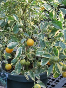 Calamondin Orange(Variegated Leaf Form)