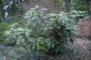 Mahonia bealei better planted in springtime