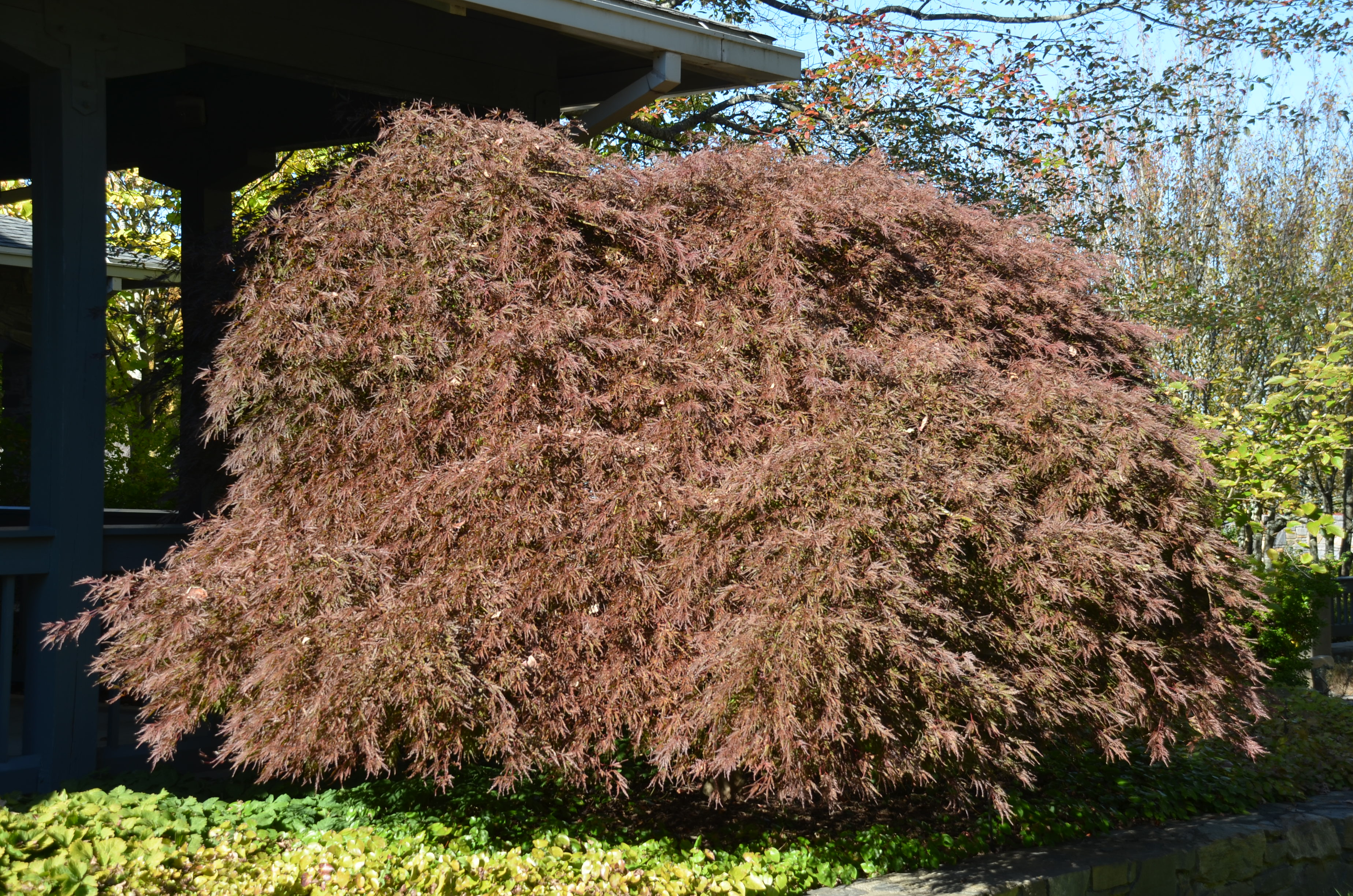 Selecting Japanese Maple Varieties For Winter Hardiness What Grows