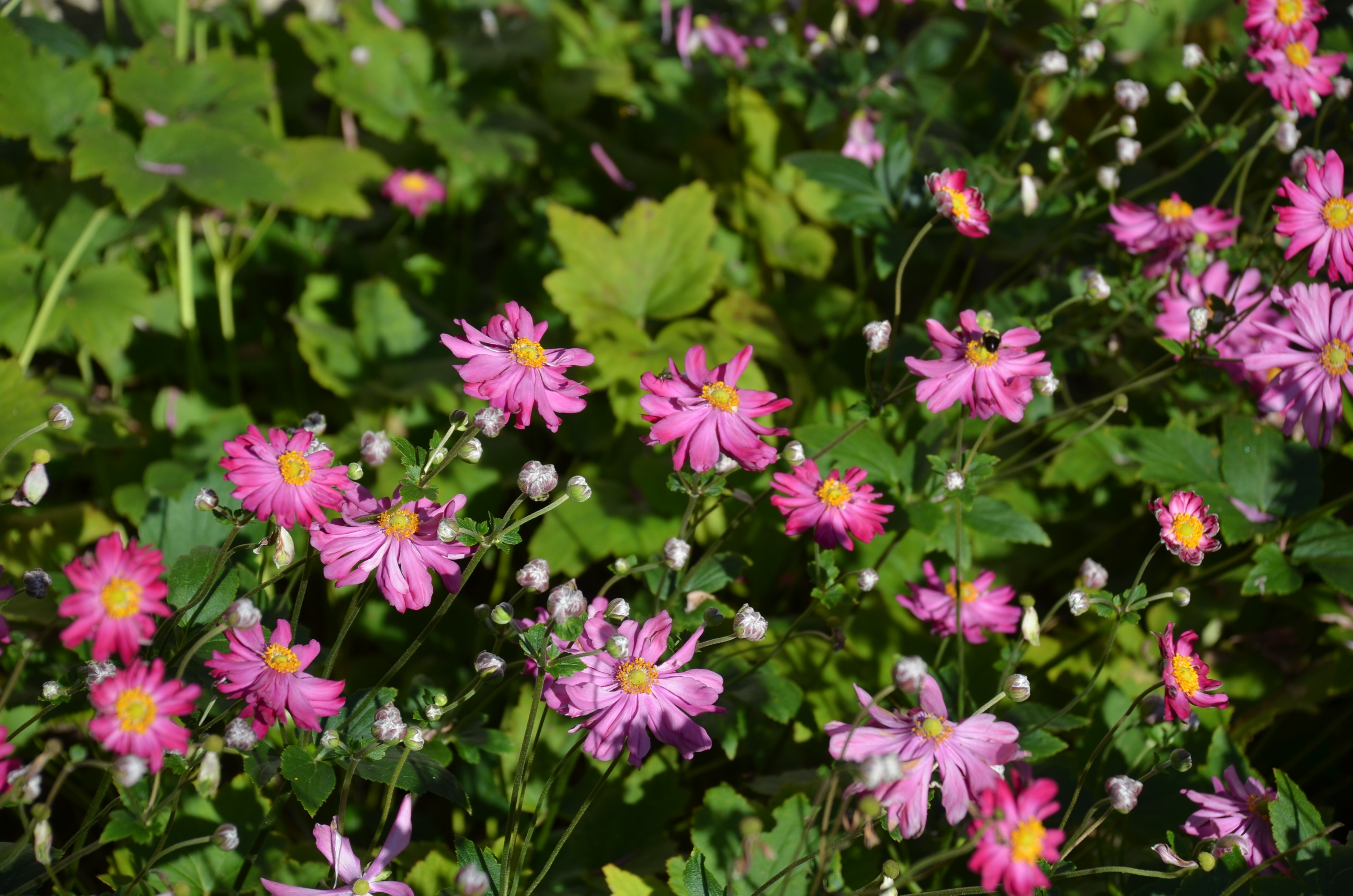 Fall Anemone 2016 Perennial Plant Of The Year What Grows There
