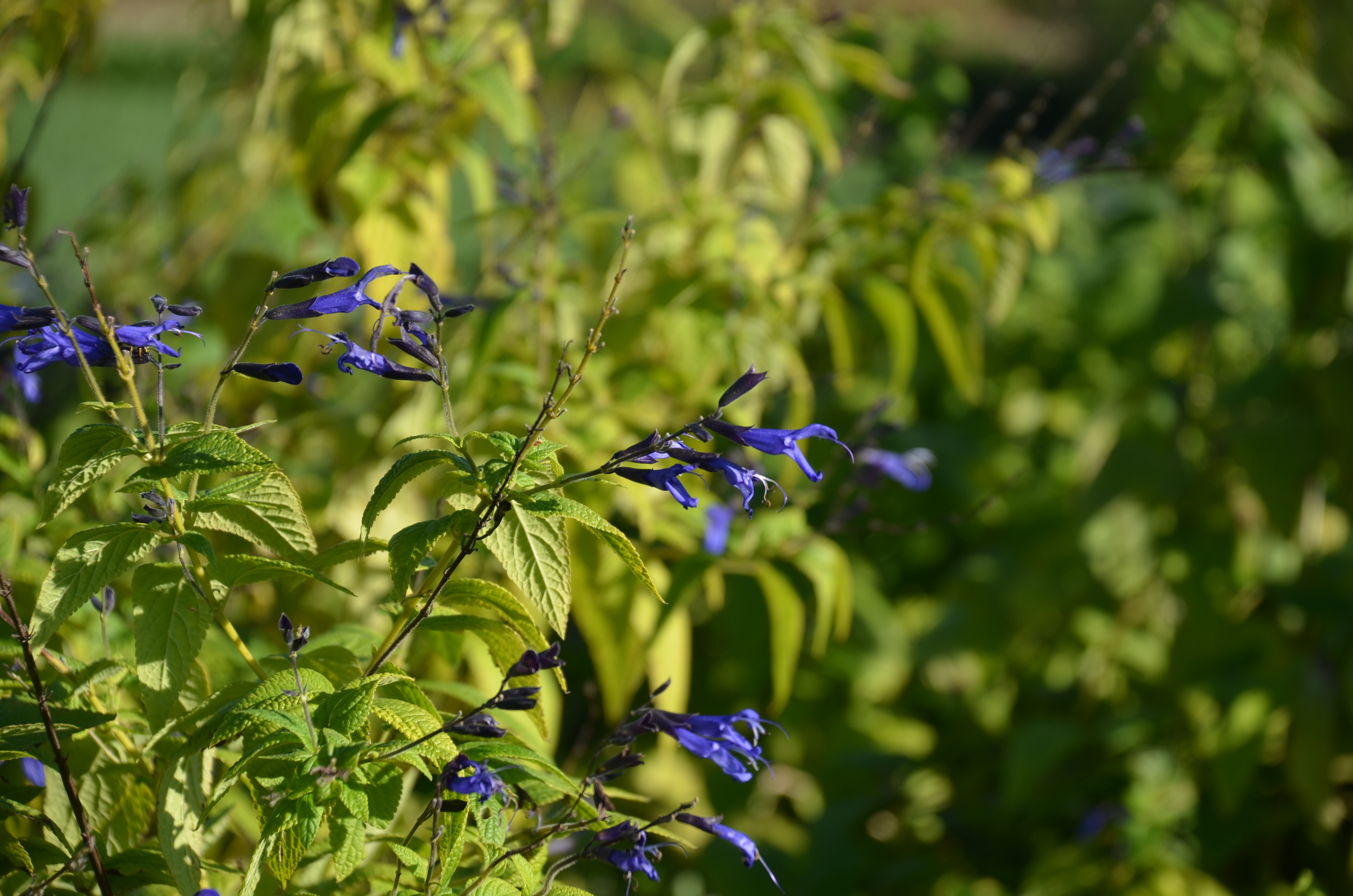 New Black And Bloom Salvia Lovely Touch To Late Summer Garden