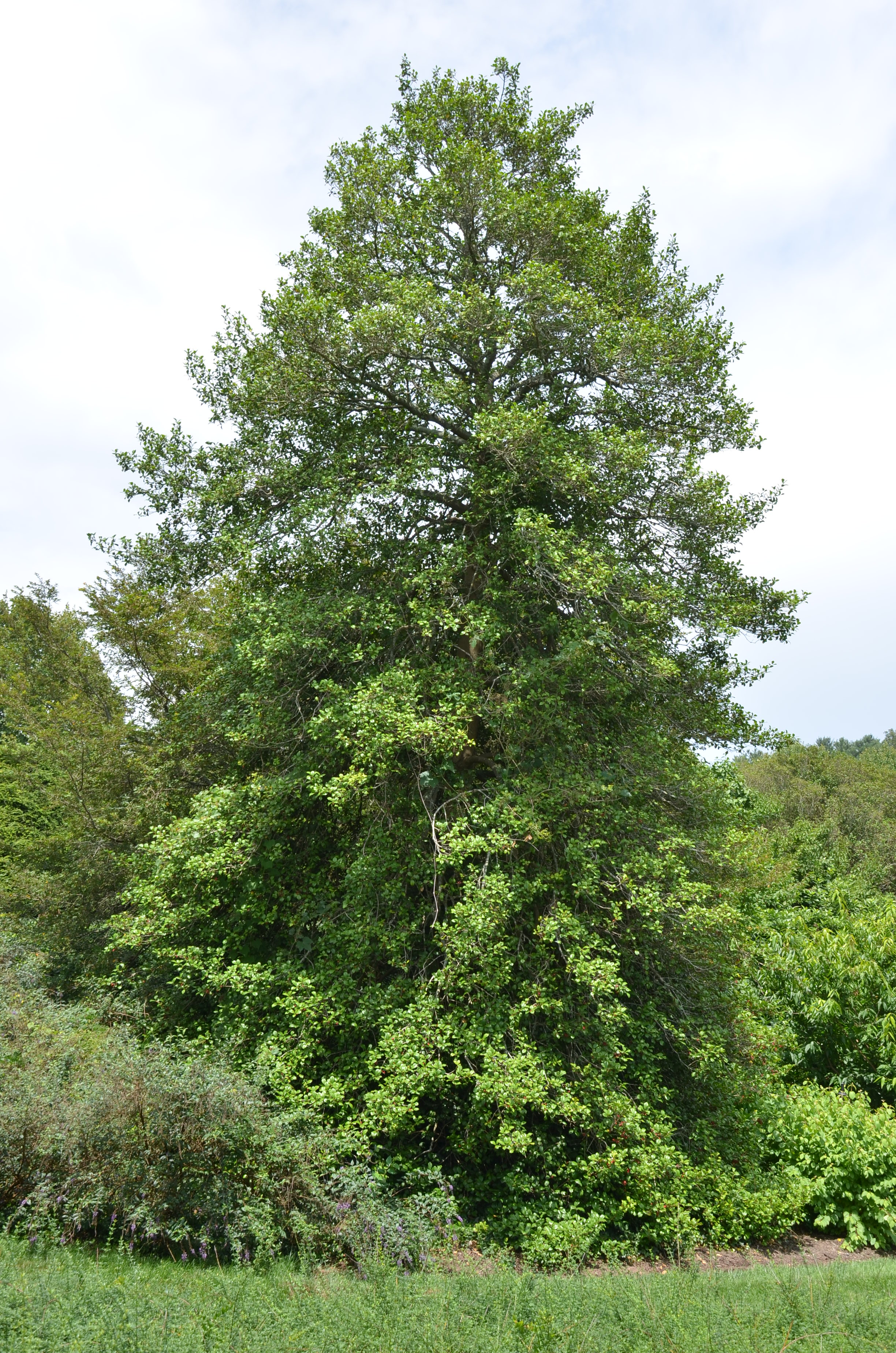 American Holly For Year Round Interest What Grows There