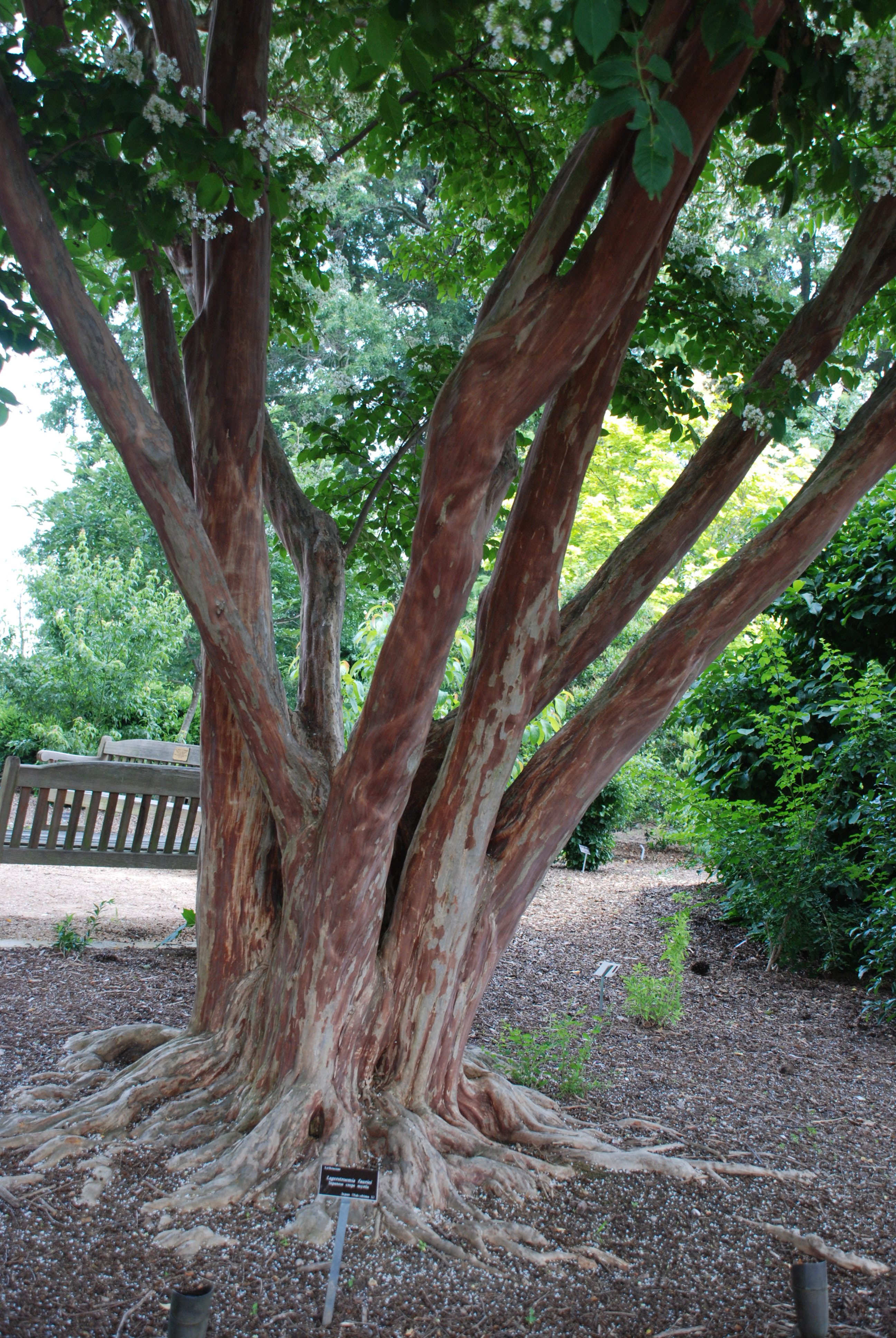 Japanese Crape Myrtle Flaunts Stunning Bark | What Grows There ...