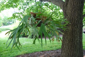 Care Of Staghorn Ferns What Grows There Hugh Conlon