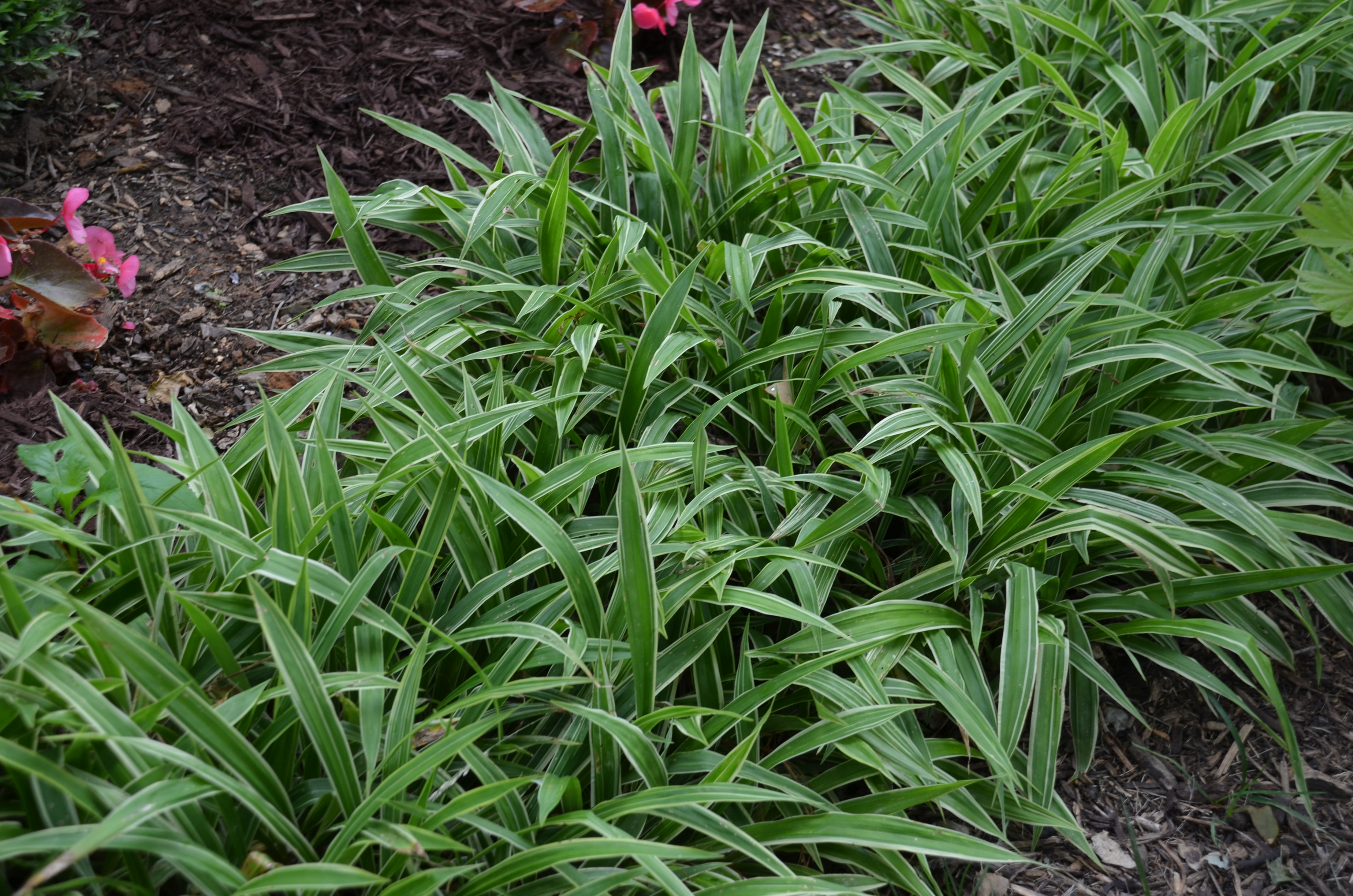 Broadleaved Sedges Colorful Alternatives To Liriope What Grows