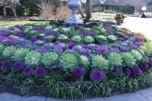 Collection of Flowering Kale at Dallas Arboretum