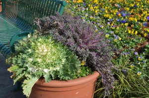 Flowering Kale in Container