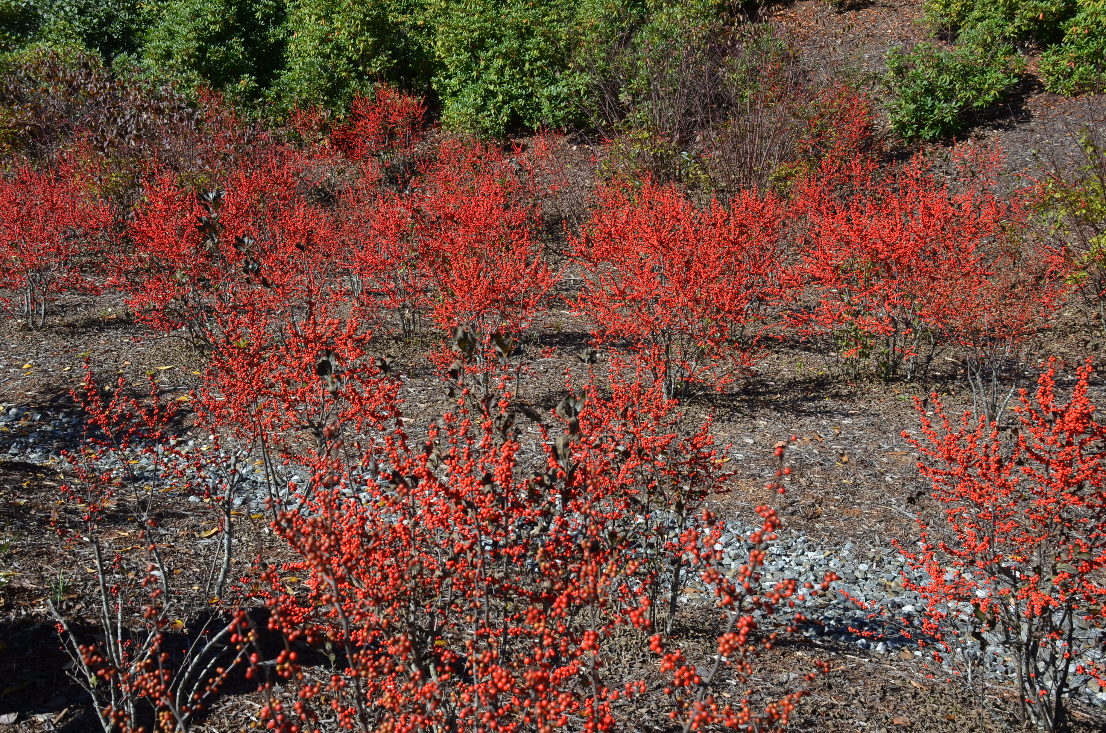 Winterberry Holly Brightens Winter Scene What Grows