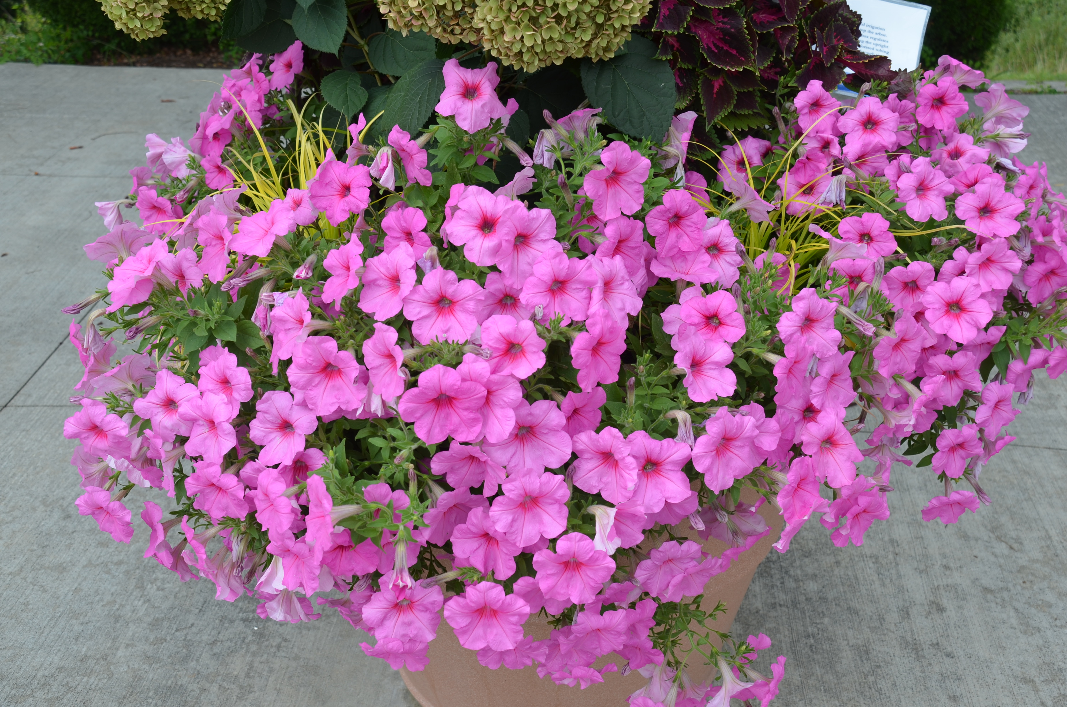 Why does not petunia grow What is the reason that petunia does not grow