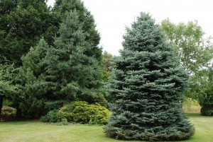 Colorado spruce, formerly a Christmas tree, now landscape tree