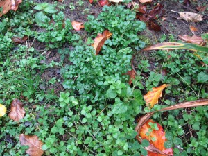 Winter annual weeds in fall garden