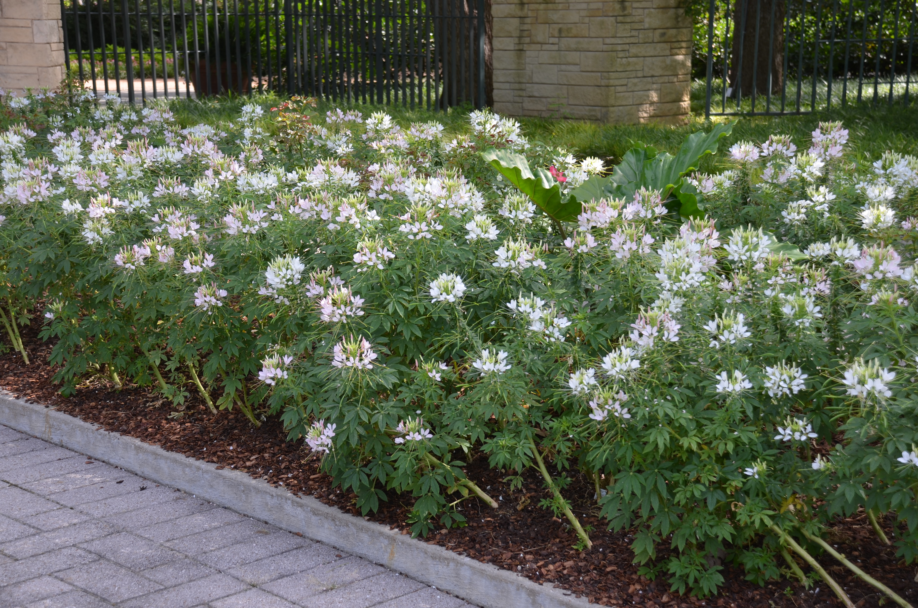 Spider Flowers Excel In Summers Heat And Humidity What Grows