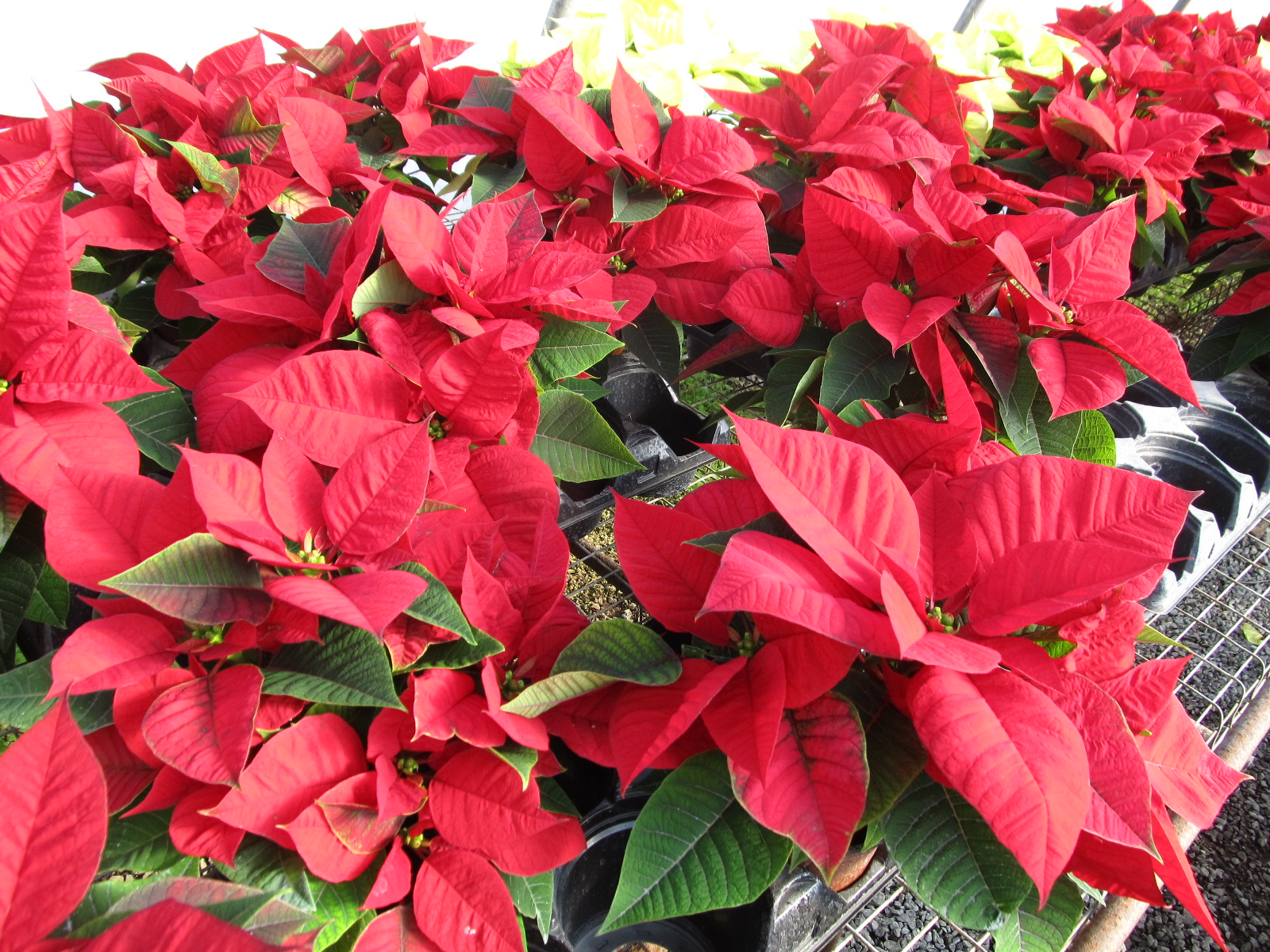 Re Blooming Your Poinsettia What Grows There Hugh