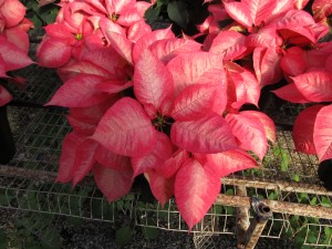 New Poinsettia Variety 'Ice Crystal'