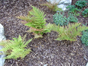 Autumn fern in mid-spring