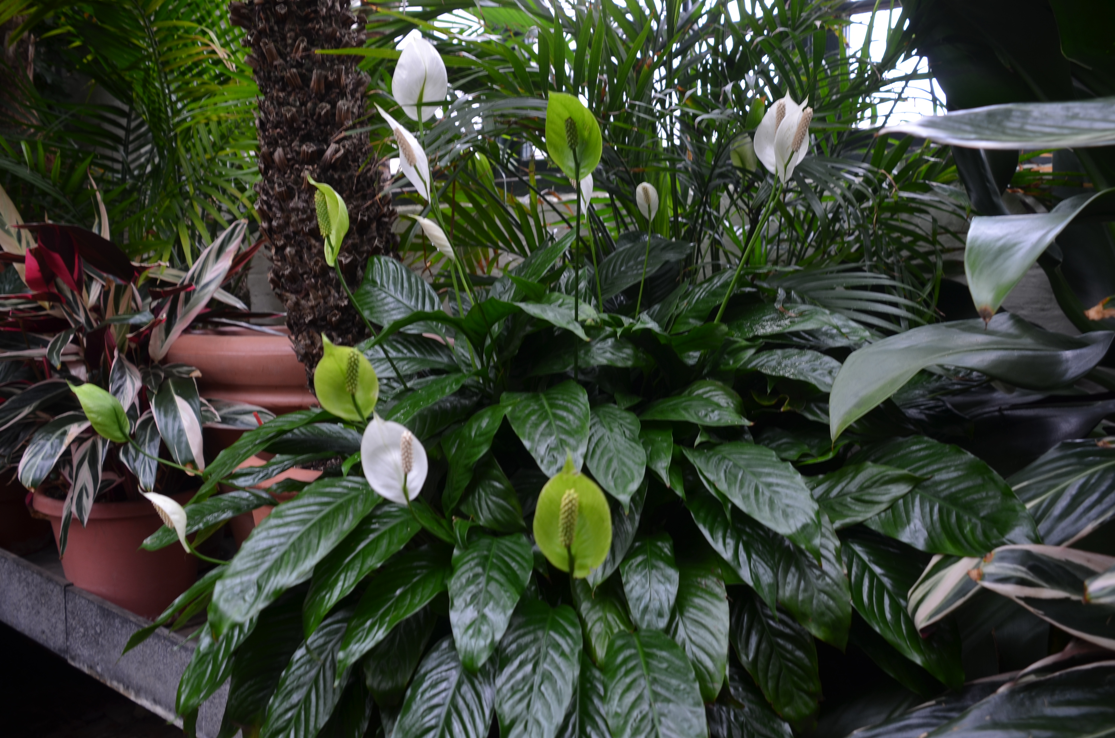 Peace lily and anthurium plants around home or office what grows peace lily spathiphyllum izmirmasajfo