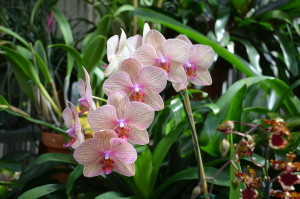 Phalaenopsis orchid at Biltmore Estate in Asheville, NC