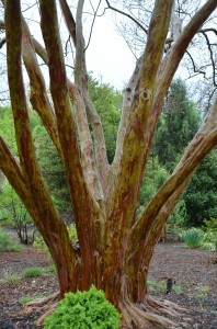 Trunk Bark of L. fauriei 'Fantasy' at JC Raulston in Raleigh, NC