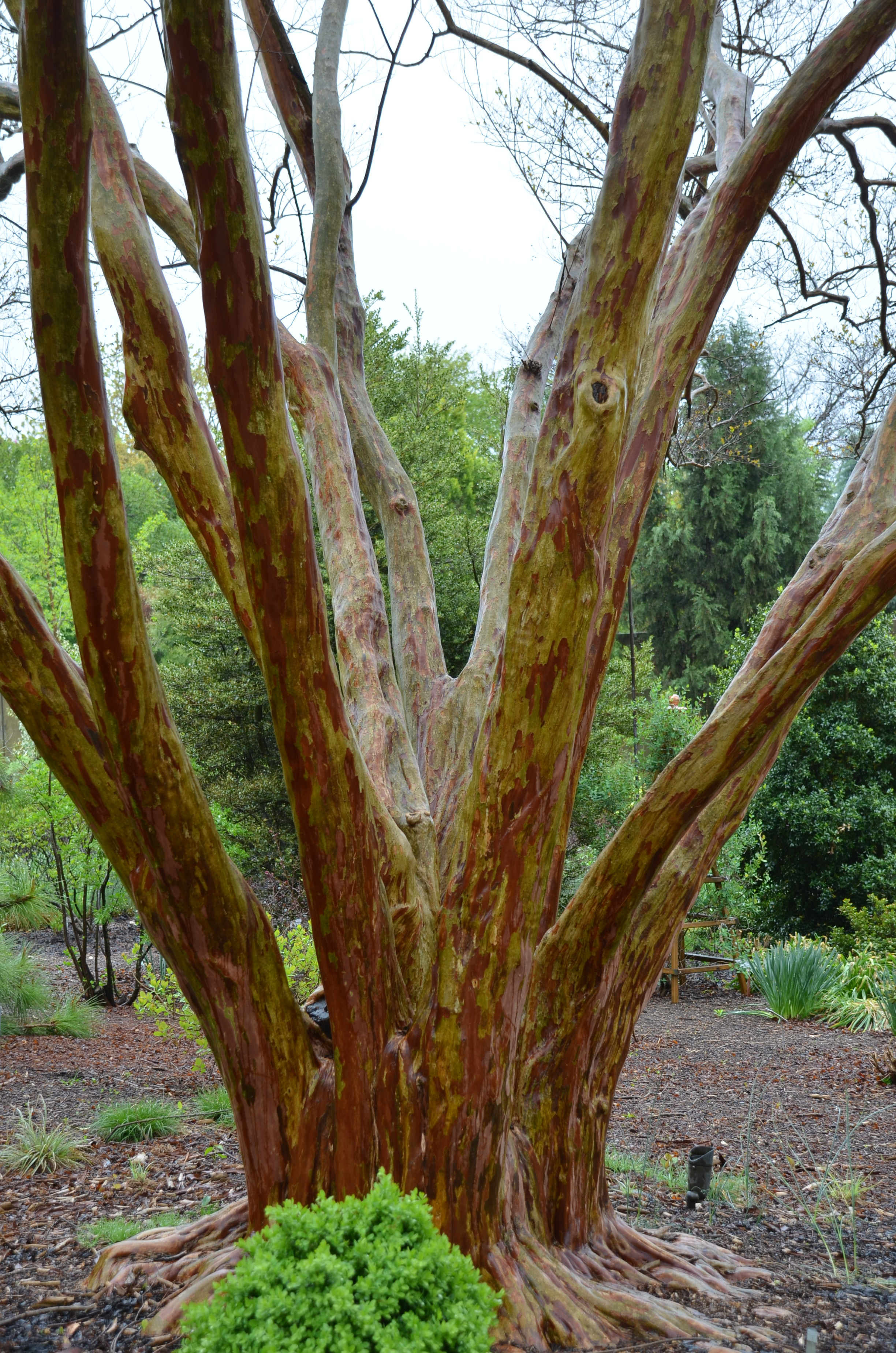 Crape Myrtles With Awesome Bark | What Grows There :: Hugh Conlon ...